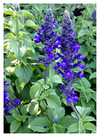 We love Salvia Mystics Spires