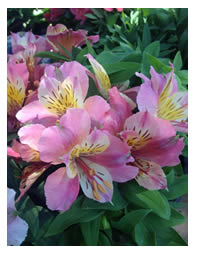 Inca Lilies are stunning summer perennials
