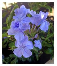 Water Wise Indigenous Cape Plumbago