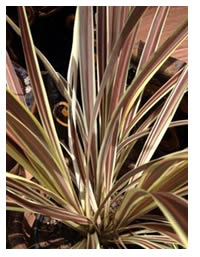 NEW! Dwarf Cordyline Electric Flash