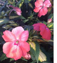 Variegated Sunpatiens add light in the shade