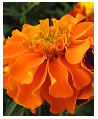 Marigolds are companion plants for veggies
