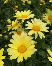 Easy colour from Lemon Queen Daisies