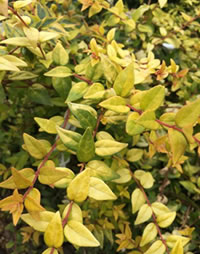 Tough yellow Abelia