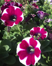 Petunias need the hottest spot you can find