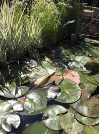 Water plants provide shade for the fish