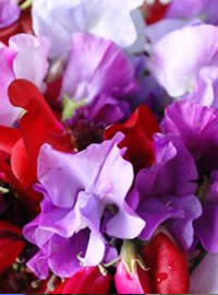 Plant some fragrant sweet peas