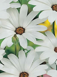White African Daisies sparkle in the winter sun