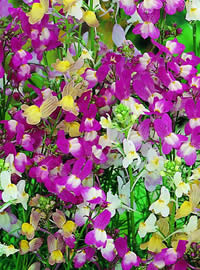 Fairy Linaria as very easy to sow and grow