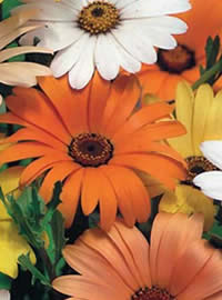 Classic African Daisies in bright colours