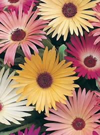 Bokbaai Vygies also known as Livingston Daisies