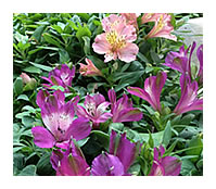 Inca Lilies make wonderful ground cover and cut flowers