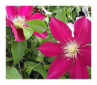 Clematis Rebecca, a new variety now at Eckards