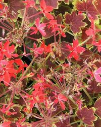 Variegated Geraniums add interest