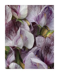 Look out for the Heirloom Range off Sweet Peas