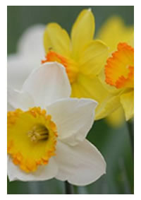 Look for shades and combinations of colours of daffodils