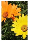 Namac's or African Daisies – Easy bright colour!