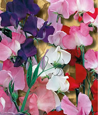 Grow Sweet peas in the veggie garden to attract pollinators to increase your harvest