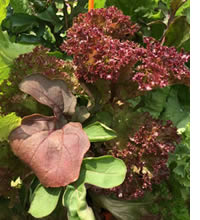 Plant from seed or established seedlings for a mixed basket of winter greens