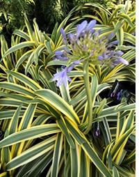 Agapanthus Zambezi - star of this seasons new releases