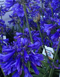 Surviving weeks without water, Agapanthus