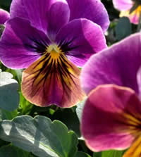 Who can resist Pansies?