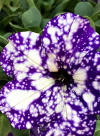 Petunia Night Sky, NEW for 2016