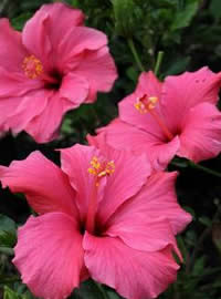 Hibiscus flowers on the tips of stems
