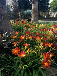The Eckards pavement garden  of Daylilies