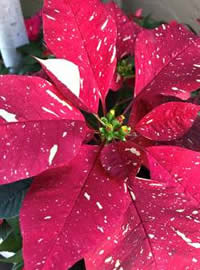 Poinsettia star speckled