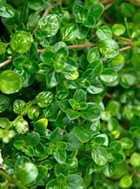 Edible Thyme herb works well to stand on