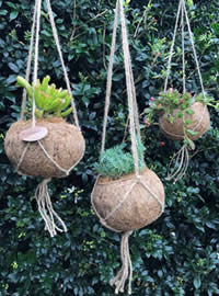 Kokodama styled hanging baskets