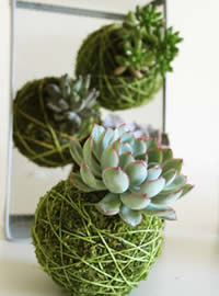 Kokedama inspiration with succulents