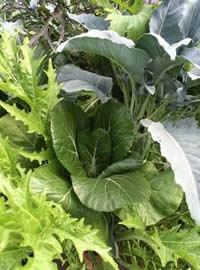 Plant some fast leaf crops now