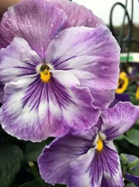 Pansies grow the best in full day sun