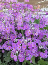 Fairy Primulas are great for full shade