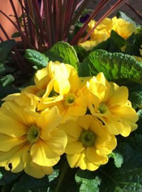 English Primroses are perfect for containers