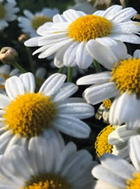 Daisy bushes are a long time favourite in RSA