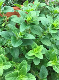 Oregano is a staple in most kichens in RSA