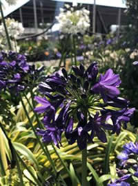 Agapanthus love summer