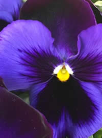 Pansy planting time