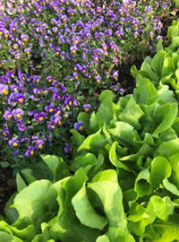 Lettuce and Violas make for salad companions