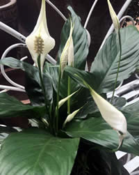 Peace Lilies grow in low light