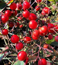 Birds love Nandina berries
