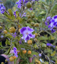 Duranta have berries that turn bright yellow