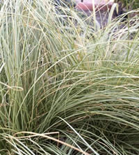 Plant grasses for seed eating birds