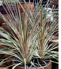 New varieties of Cordylines are perfect for containers