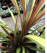 NEW! Colour changing Cordyline Cha Cha