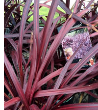 Cordyline Red fountain has burgundy leaves