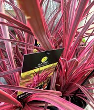 Cordyline Electric Pink has pink edges